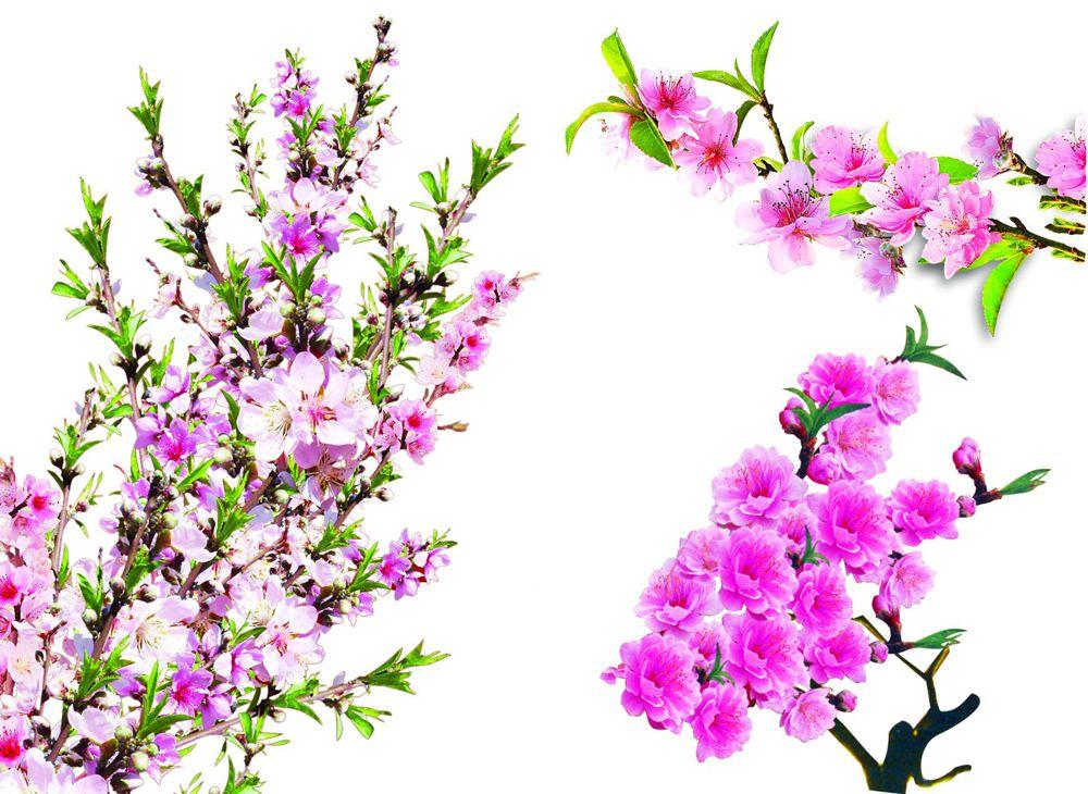 [PSD] Cành đào, hình ảnh hoa đào đã tách nền cực đẹp