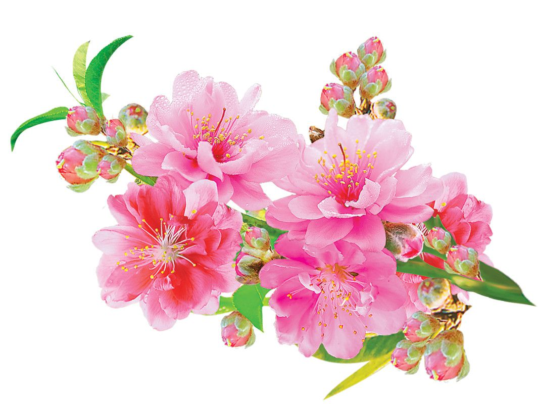 [PSD] Hoa Đào Vector, hình ảnh hoa đào đẹp ngày tết